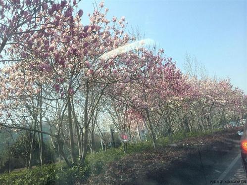 夹在柳树中间的桃树也开出了鲜艳的花朵,绿的柳,红的花,真是美极了!